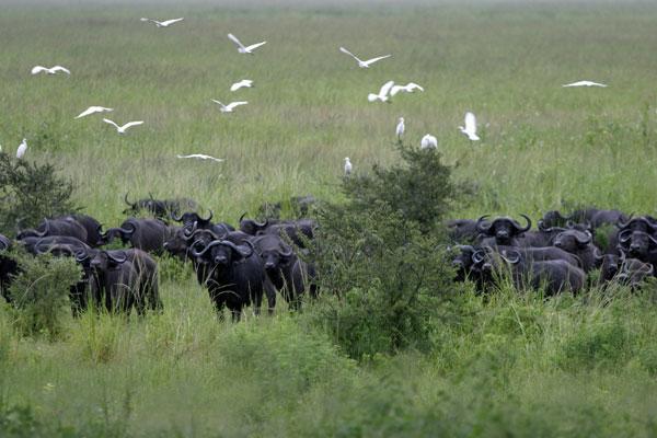 Buffalo in Chada Katavi