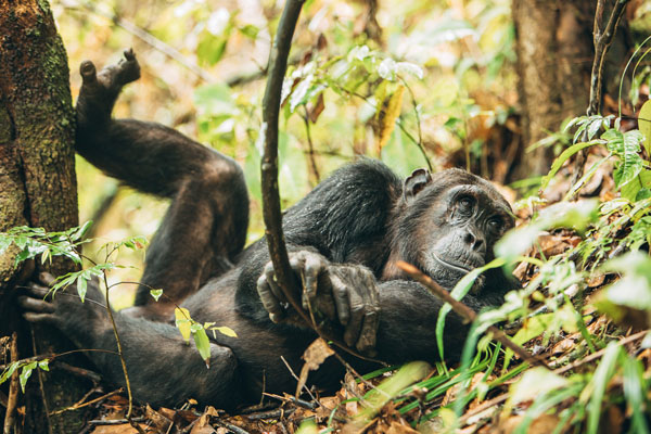 Chimpanzee action in the Mahale Mountains