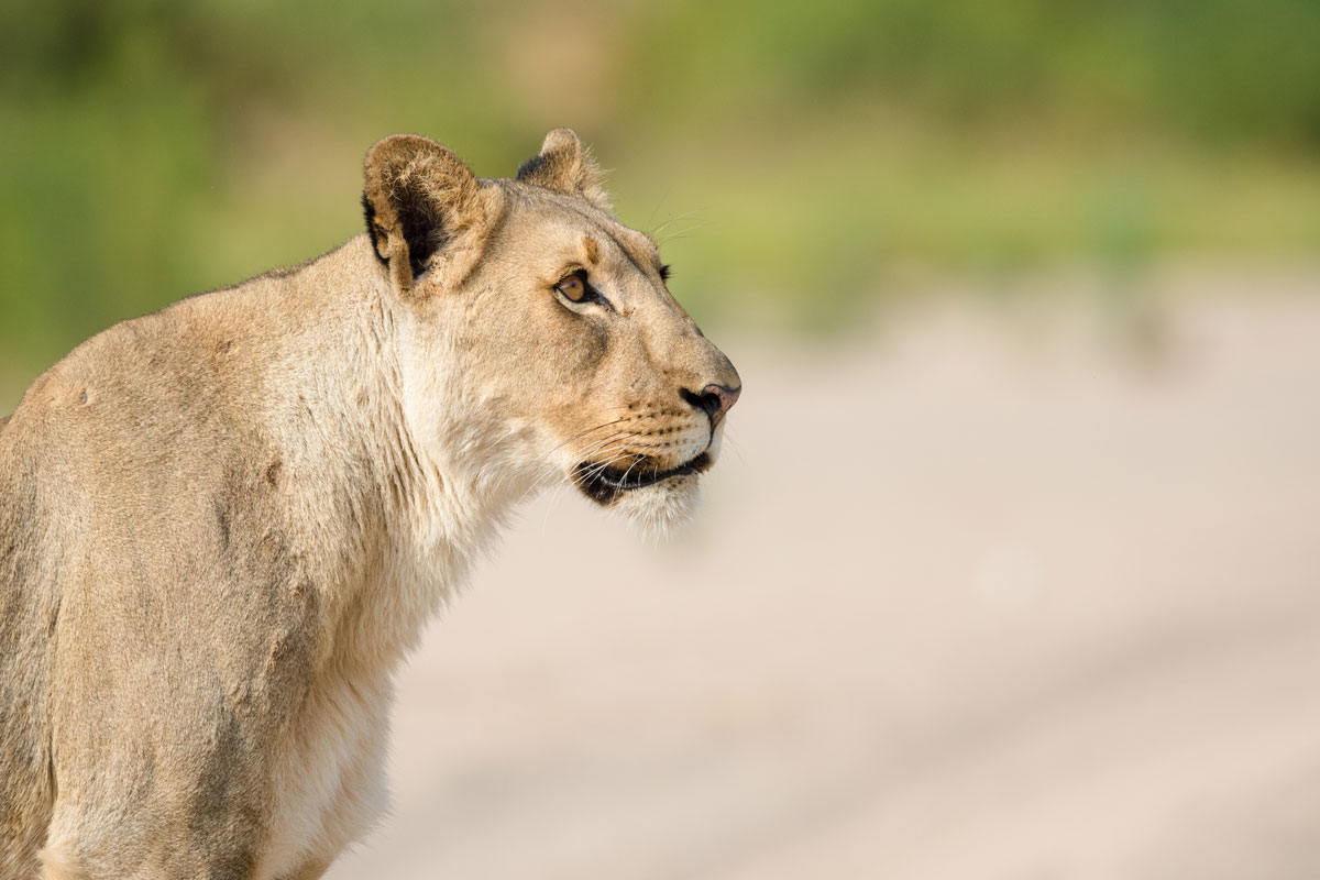 Hoanib Valley Camp Lioness Kaokoland, Namibia, Natural Selection