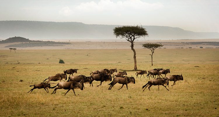Sayari Camp wildebeest Northern Tanzania