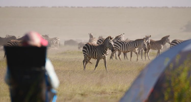 Lady watching zebra and wildebeest on a mobile safari in the Serengeti, Tanzania