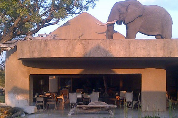 An elephant climbs on a roof at Sabi Sabi