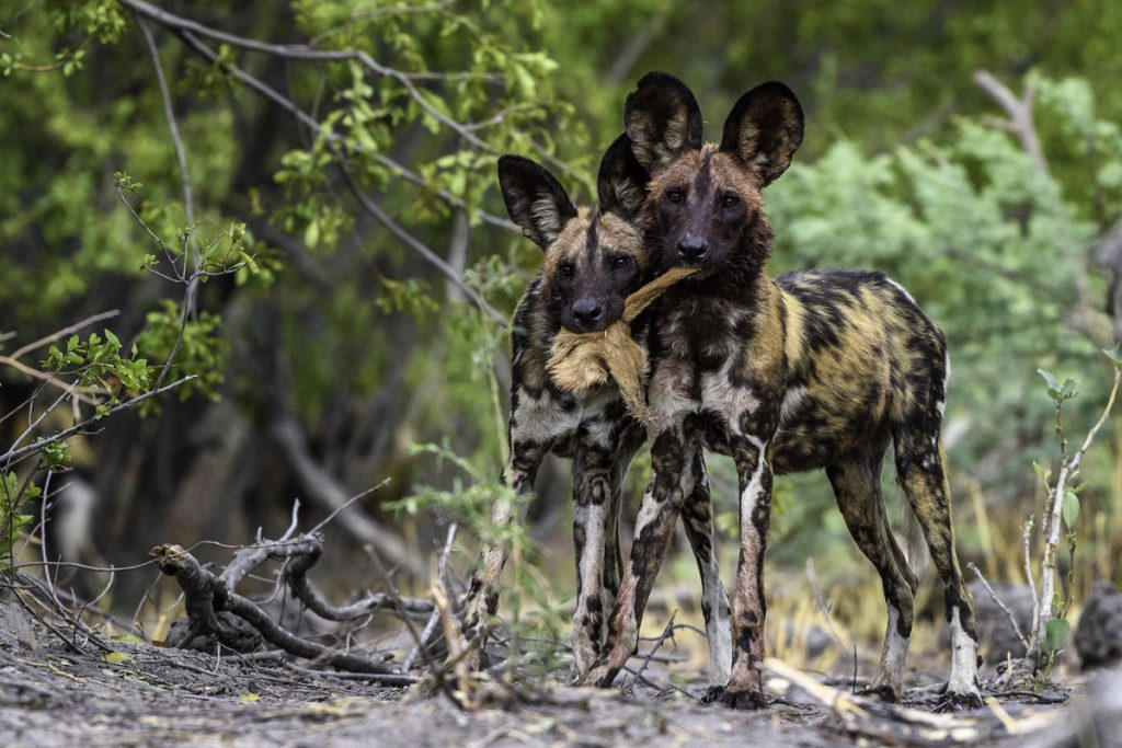 telegraph travel awards vote and win a botswana safari to see wild dogs