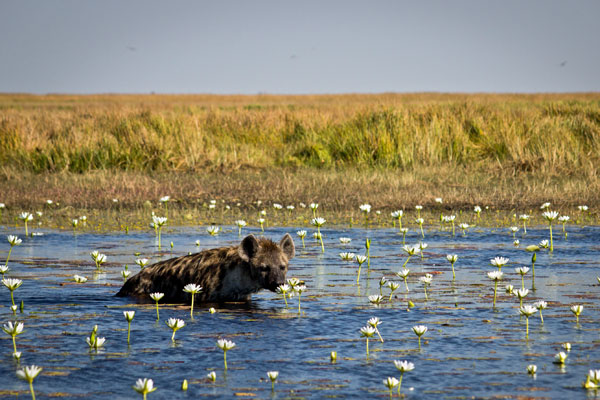 Hyena wading at Liuwa Plains, Zambia wildlife enthusiast safaris