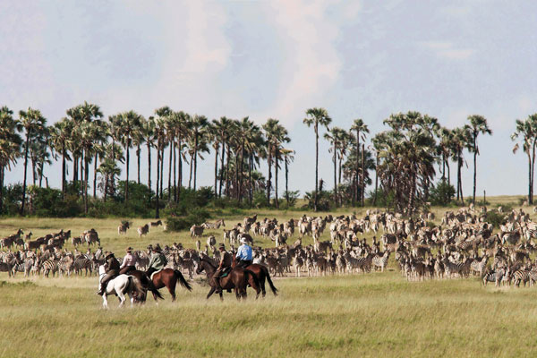 The great zebra migration, Botswana