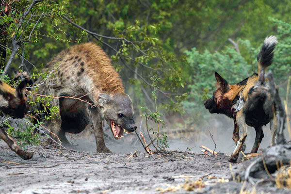 Hyena and wild dog at Mombo Camp, Okavango Delta, Botswana
