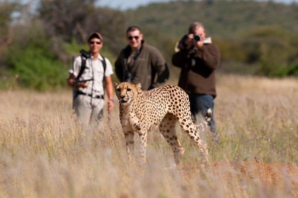 safari experts on Cheetah tracking, Okonjima, Namibia