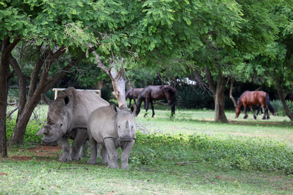 Rhino and horses at Ant's Nest, Waterberg, South Africa