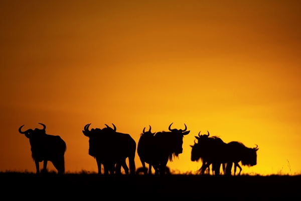 wildebeest at sunset silhouette wildebeest migration blog