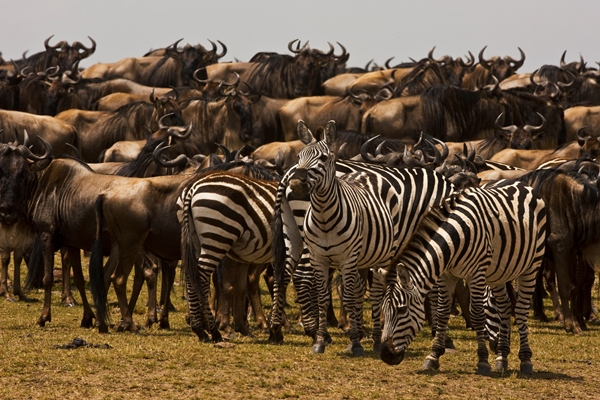 herd of wildebeest with zebra - wildebeest migration blog