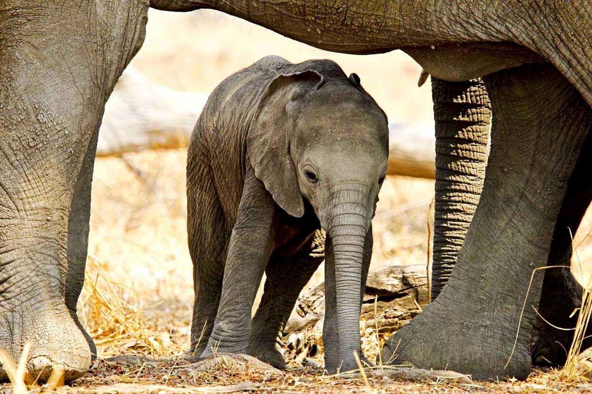 Mapazi baby elephant under mother elephant