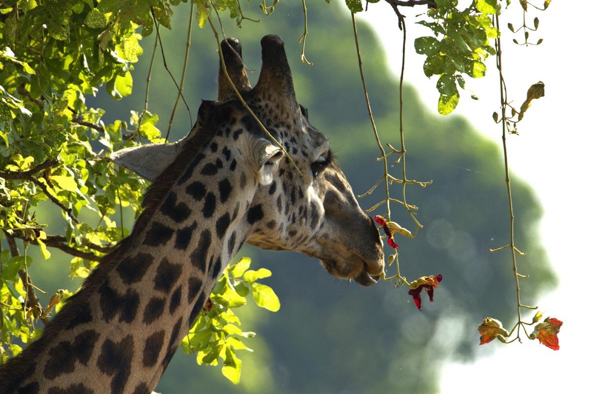 Mapazi giraffe