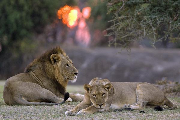 Lions in the South Luangwa, Tena Tena - luxury zambia safari
