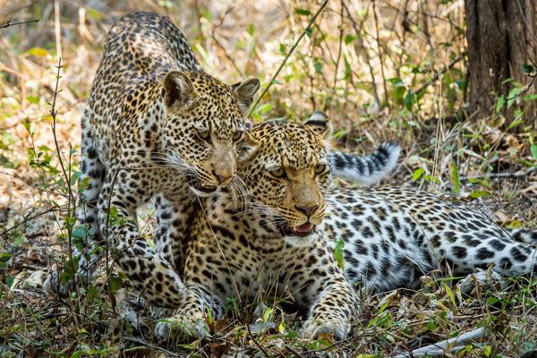 Leopards in the South Luangwa, Tena Tena luxury Zambia safari