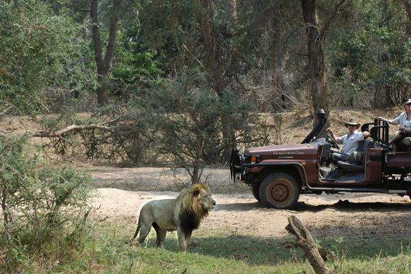 Game drive with lion at Time + Tide Chongwe River Camp