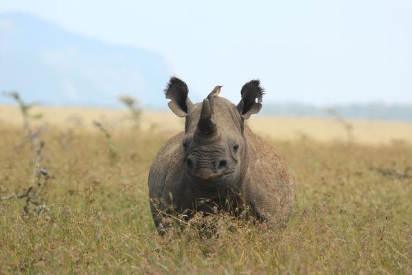 Black rhino Borana, Laikipa Kenya, Kenya and Zanzibar