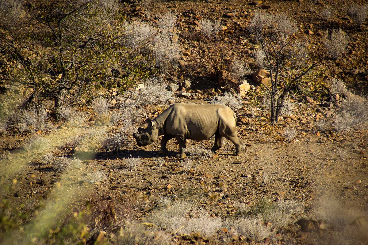 Huab under canvas tracking desert adapted rhino in Namibia, Damaraland, Ultimate Safaris