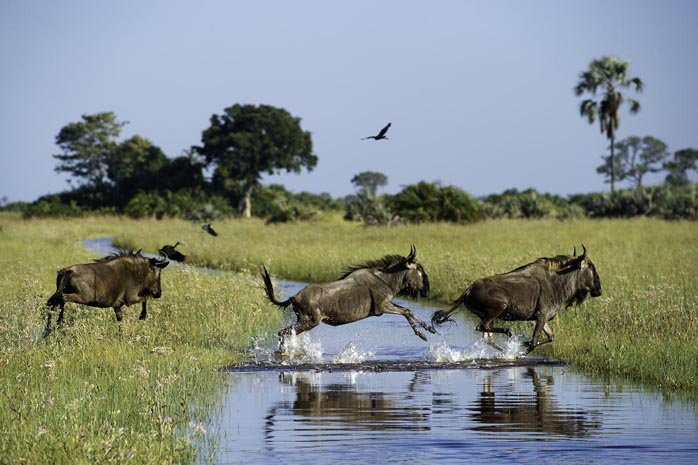 Wildebeest at Jacana Camp, Okavango Delta, Botswana Botswana and Victoria Falls