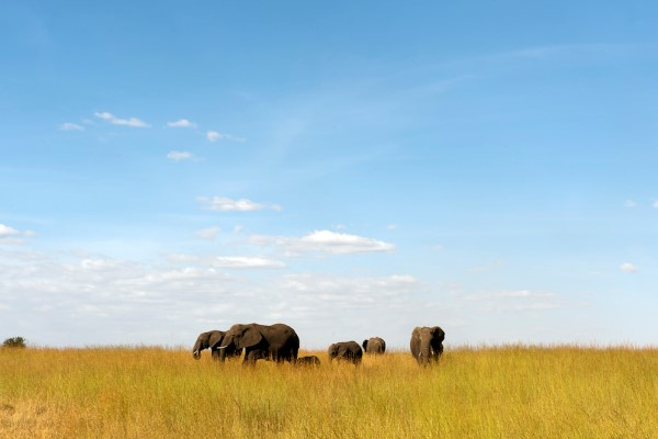 Elephants in northern Serengeti