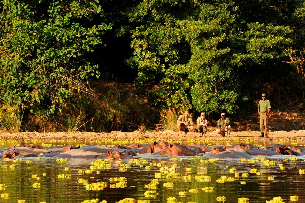 Hippos on a walking safari at Luwi Bushcamp, Zambia