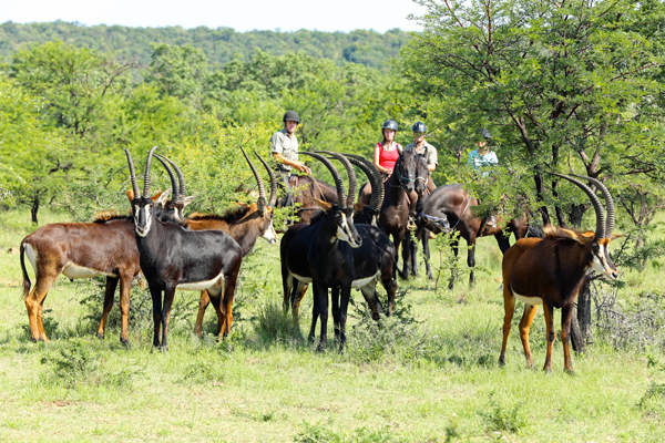 Riders with sable antelope at Ants Nest lodge based day rides