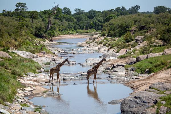 Giraffes crossing the Rekero River, Mara conservancies