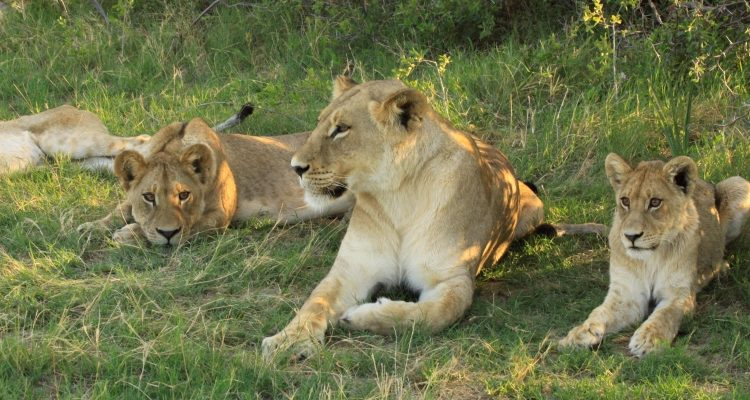 Drumbeat Safaris lion pride Annelies Zonjee-James