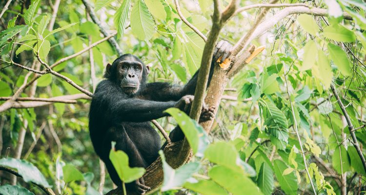 Chimpanzee tracking at Greystoke Mahale