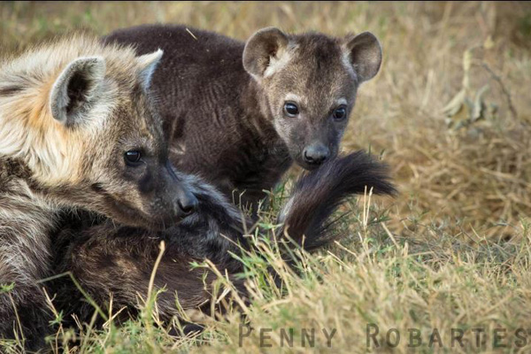 Charismatic hyena cubs, Penny Robartes