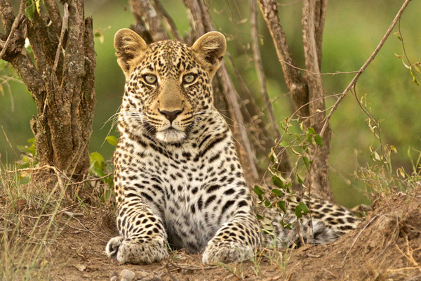 Leopard in the bushveld, Warren Samuels