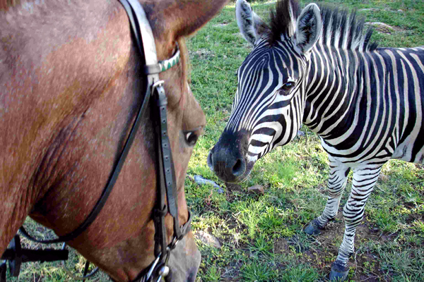 Meeting a zebra at Ants Nest lodge based day rides