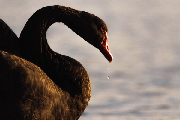 Black swan close up in the golden hour, Topsham, Devon UK ©Olly Johnson