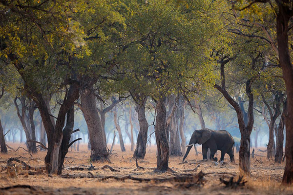 Elephant in the woods, South Luangwa, Zambia by Ed Selfe