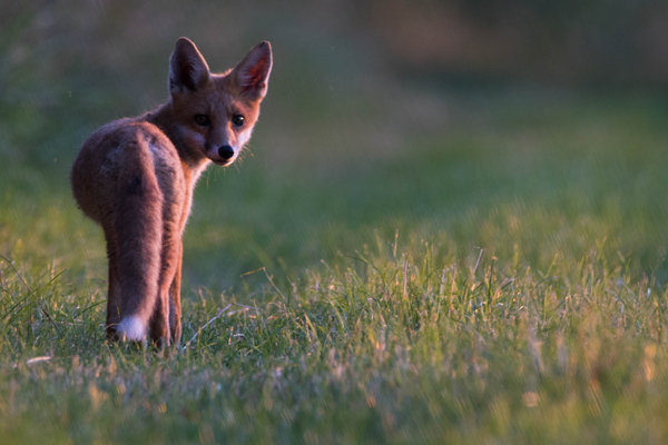 Juvenile fox in the evening light in Oxfordshire, UK ©Olly Johnson