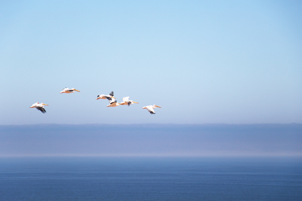 Great White Pelicans, Sandwich Harbour, Namibia ©Olly Johnson
