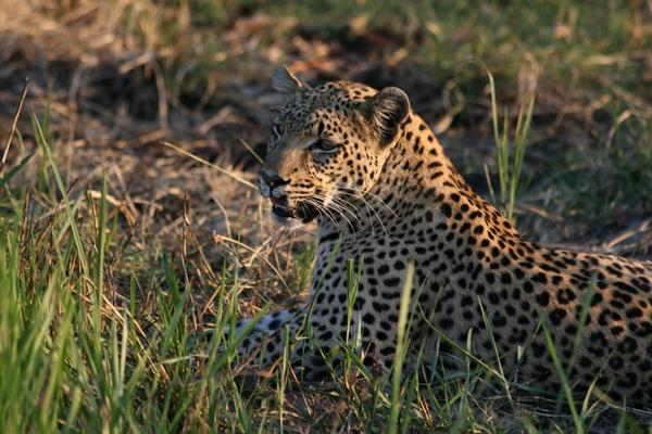 Drumbeat Safaris Leopard near camp Annelies Zonjee-James