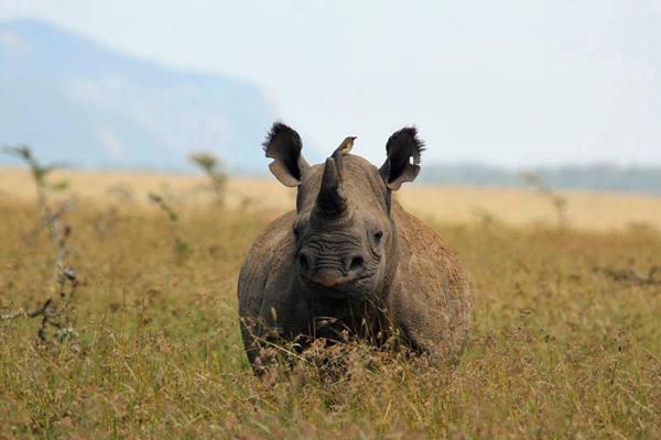 Black rhino at Borana Rhino riding safari