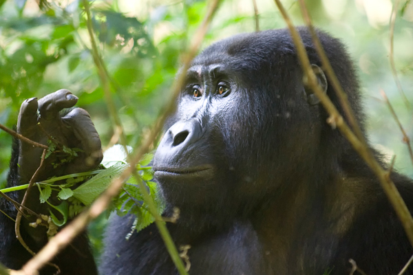 Habituated gorilla, Bwindi, Uganda primate safaris
