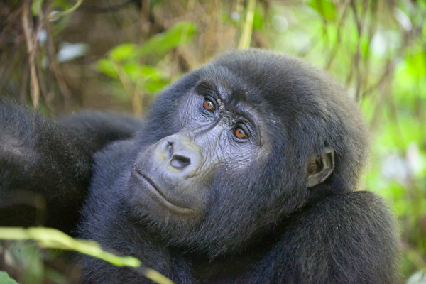 Habituated gorilla, Bwindi, Uganda new primate safaris