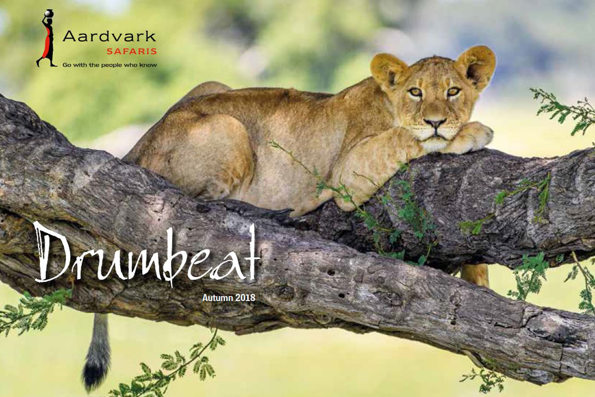 Drumbeat Autumn 2018 front cover lion cub on a tree Aardvark Safaris