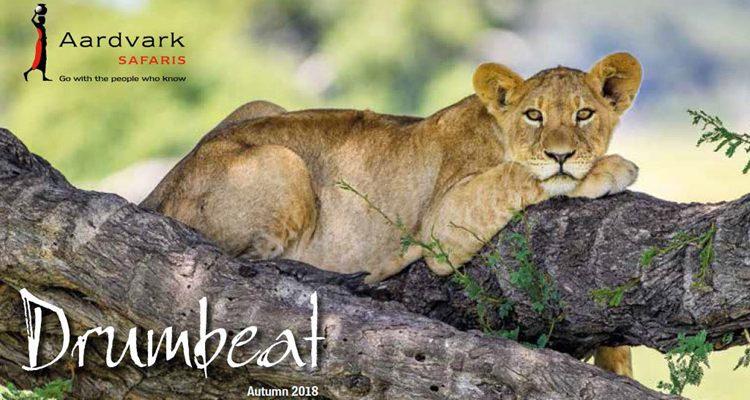 Drumbeat Autumn 2018 front cover lion cub on a tree Aardvark Safaris