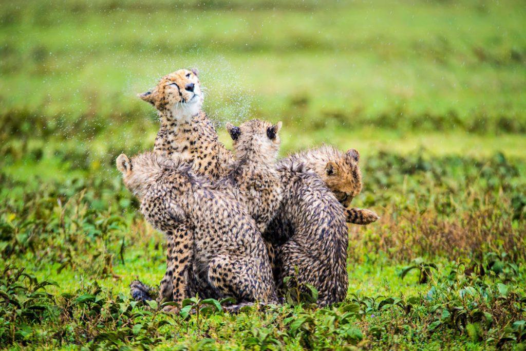 Sanctuary Kusini Camp wet cheetah group