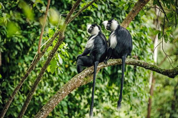 Colubus monkeys, Nyungwe, Rwanda new primate safaris
