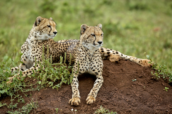 Cheetahs at Phinda Private Game Reserve, South African Safaris
