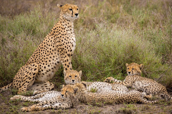 Cheetah family and three cubs in Serengeti National Park, Tanzania