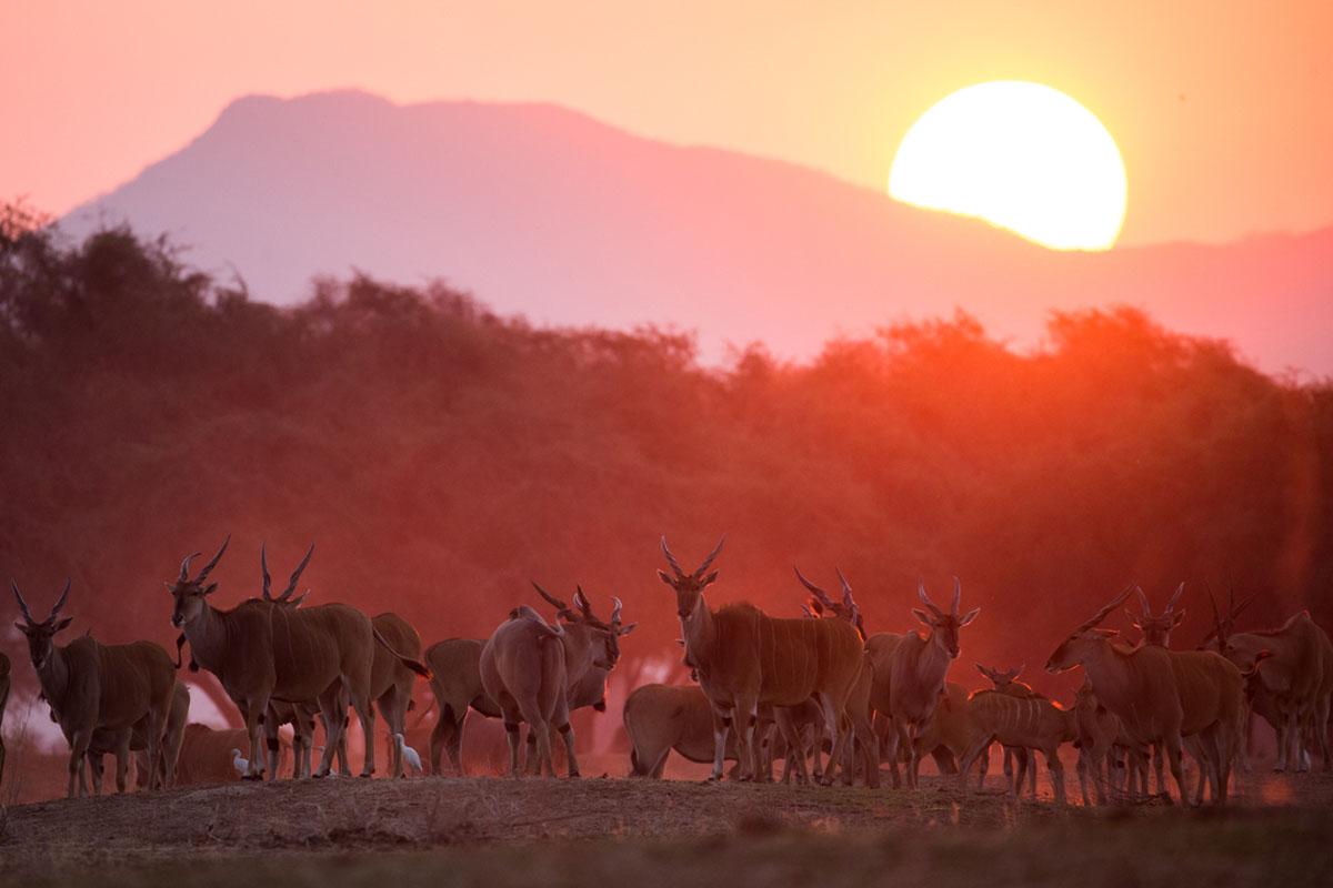 Chikwenya eland herd at sunset, Mana Pools, Zimbabwe