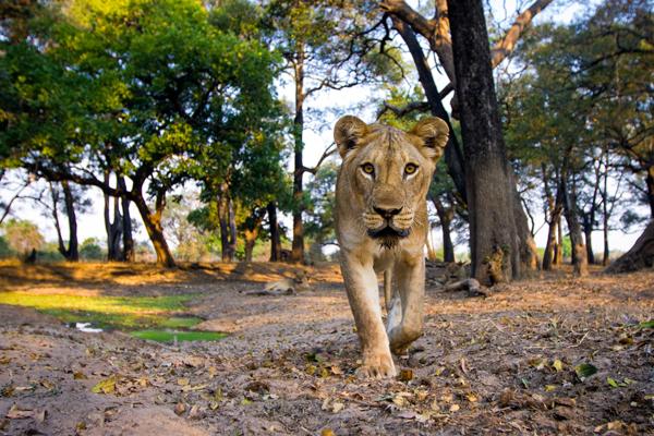 Lioness, Mchenja Camp, South Luangwa Valley, Zambia