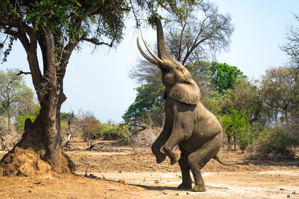 Elephant acrobatics, Mana Pools, Zimbabwe