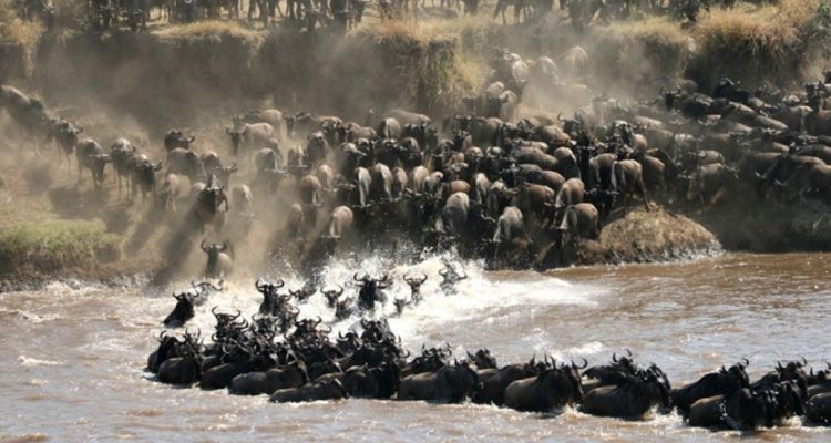 Wildebeest Crossing at the Mara River, Serengeti, Q&A with Nomad Tanzania Guide