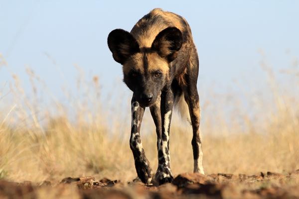 Wild dog at Laikipia Wilderness